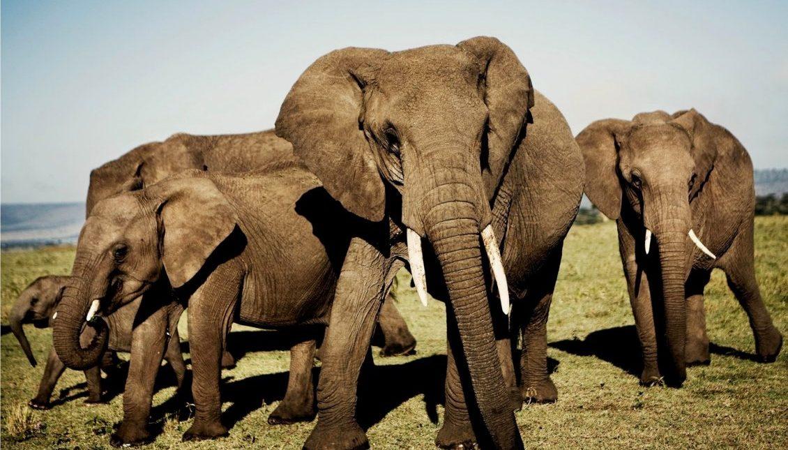 Elefantflok02