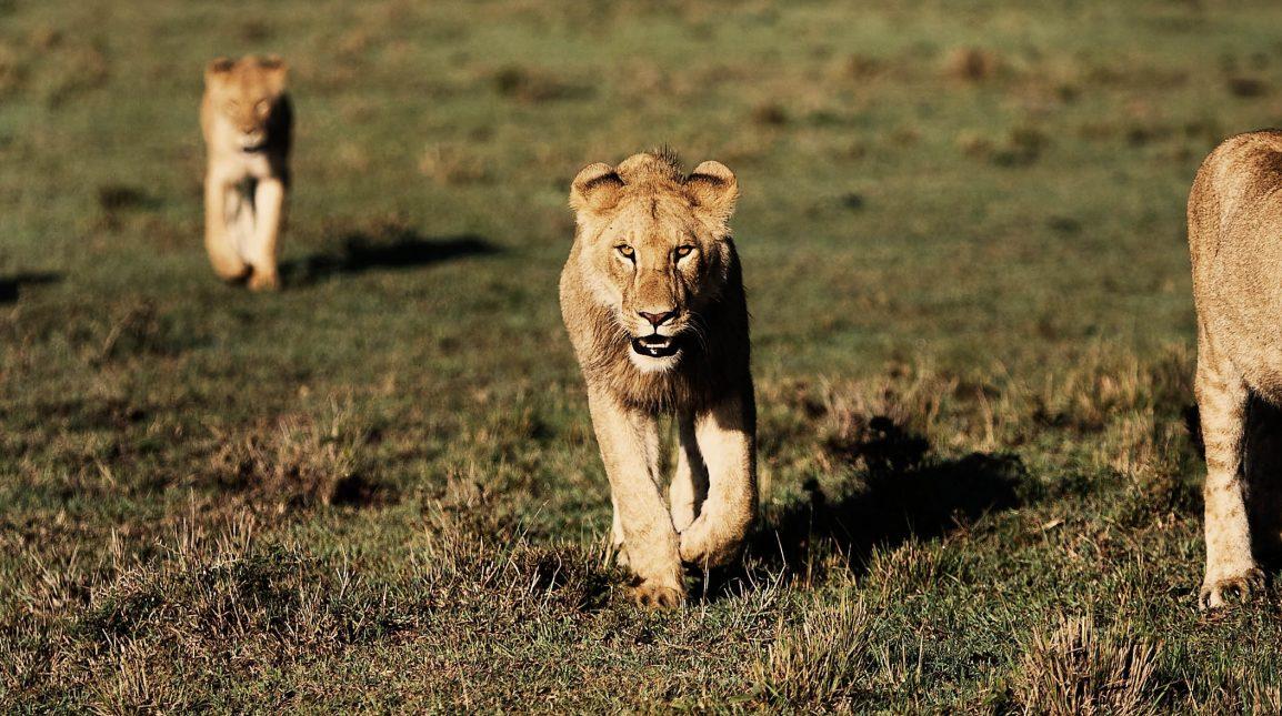 Løveflok